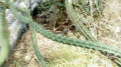 Biosphere2 - Octopus Cactus closeup Stock Footage
