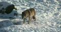 HD1080i Wolf walking in winter forest Footage