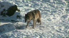 HD1080i Wolf walking in winter forest Stock Footage