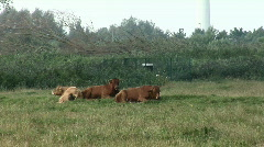 Resting brown cow Stock Footage