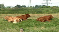 Stock Video Footage of Resting brown cow