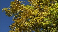 Fall Foliage Autumn Leaves Stock Footage