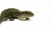 Stock Video Footage of Blue Tongued Lizard Close-Up, Slow motion, Skink