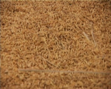 Rice - stock footage