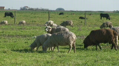 Sheep and black cows grazing Stock Footage