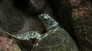 Turtle Resting Stock Footage