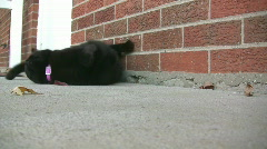 Black Cat Rolling around in front of House Stock Footage