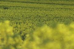 Oilseed rape field Stock Footage