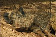 Female pig with fresher in forest - stock footage
