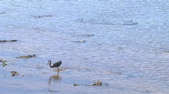 blue heron feeding - stock footage