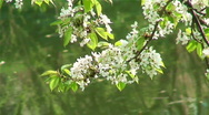 Spring garden. Tree at the lake. Blossoms on tree. Stock Footage