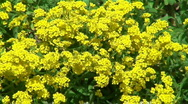 Spring garden. Yellow spring flowers. Stock Footage