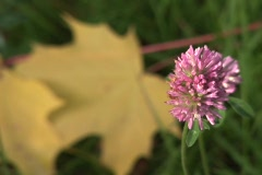 Red Clover (Close Up) Stock Footage