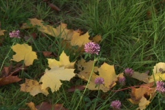 Red Clover and Leaf of the maple tree. Zoom in. Stock Footage