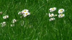 Spring garden. Daisies in grass. Stock Footage
