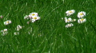 Spring garden. Daisies in grass. Stock Footage