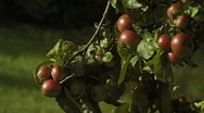 Apple tree Stock Footage