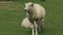 White sheep on dyke  Stock Footage