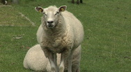 Stock Video Footage of White sheep on dyke