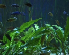 Exotic fish in aquarium Stock Footage