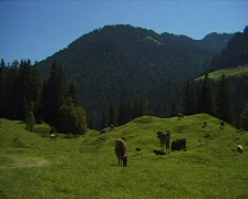 Alpine pasture with cow herd. Stock Footage