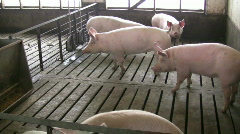 Hogs in Stable - stock footage