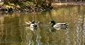 Three mallard ducks Footage
