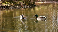 Three mallard ducks Stock Footage