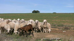 Sheeps and goats  - stock footage