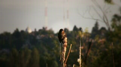 Sparrow on cattail Stock Footage
