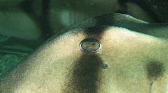 Crested Horn Shark or Port Jackson Shark Stock Footage