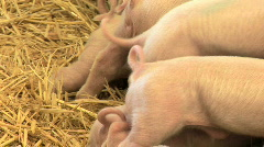 Piglet Tails Stock Footage