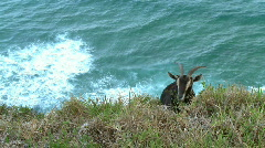 Brown Goat Feeding on Steep Ocean Headland  - stock footage