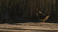 Bird at the end of a dock Stock Footage