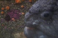 Rock fish Stock Footage