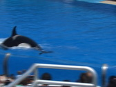 Stock Video Footage of Trainer rides the killer whale's snout