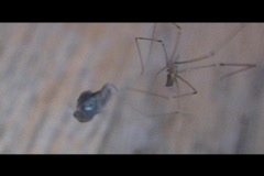 Spider cocoons fly Stock Footage