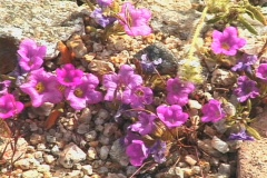 Purple Mat flowers (Nama demissum) CU Stock Footage
