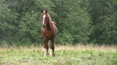Horse in a pasture 1  - stock footage