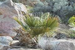 Small Fan Palm (Washingtonia filifera) Stock Footage