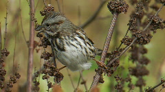 Stock Video Footage of Song Sparrow