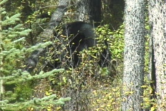 Black Bear Feeding on Berries Stock Footage
