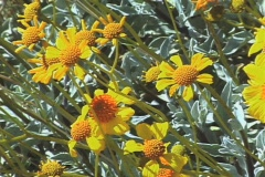 Yellow Brittlebrush flowers (Encelia farinosa) zoom Stock Footage