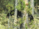 Black Bear Foraging Berries Stock Footage
