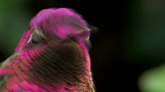 Anna's Hummingbird Stock Footage