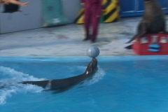 Seal ball balance 2 Stock Footage
