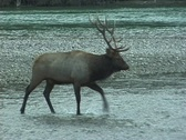 Stock Video Footage of Bull Elk Fords River  (1 of 2)