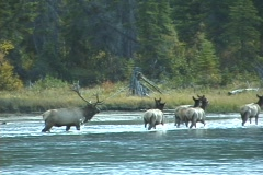 Elk Herd Crosses Athabasca River (3 of 3) Stock Footage