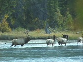 Stock Video Footage of Elk Herd Crosses Athabasca River (3 of 3)