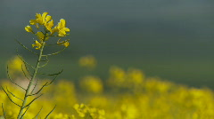 Close up of rape or mustard seed flower in Spring Stock Footage